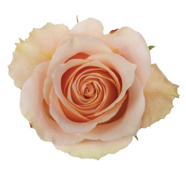 Rose Pink Primavera
