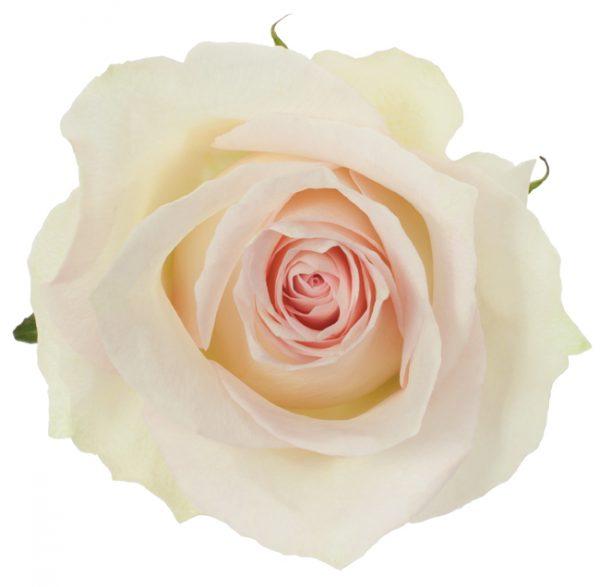 Rose Pink Ragazza