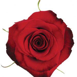 Rose Red Paris