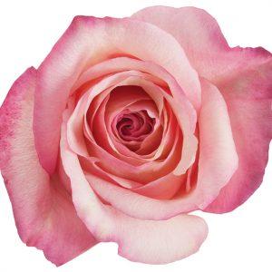 Rose Hot Pink Rocio