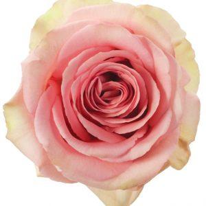 Rose Hot Pink Saga