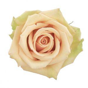 Rose Cream Sahara