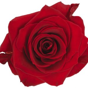 Rose Red Scarlatta
