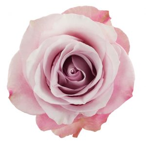 Rose Pink Secret Garden
