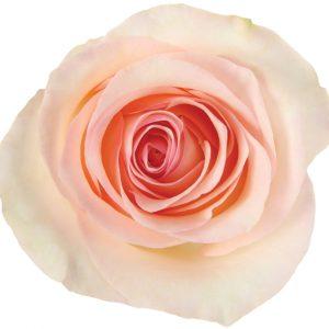 Rose Light Pink Senorita