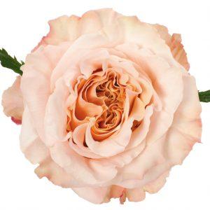 Rose Peach Shimmer