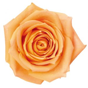 Rose Peach Shukrani