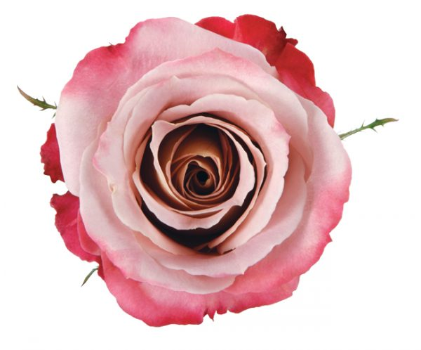 Rose Bi-Color Pink Silvery Pink