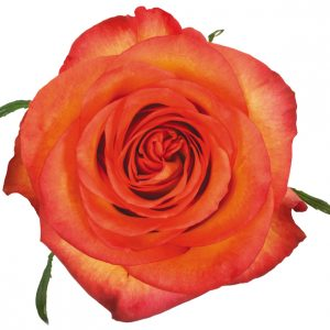 Rose Bi-Color Orange Skyfire