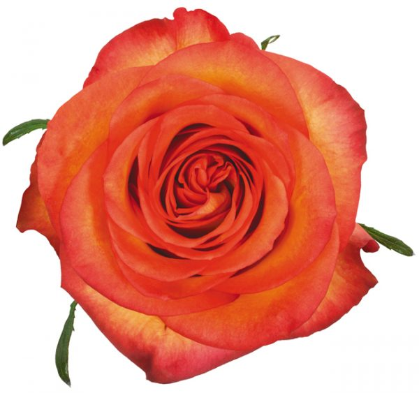 Rose Bi-Color Orange Skyfire
