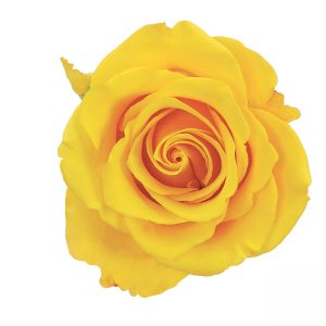 Rose Yellow Sonrisa