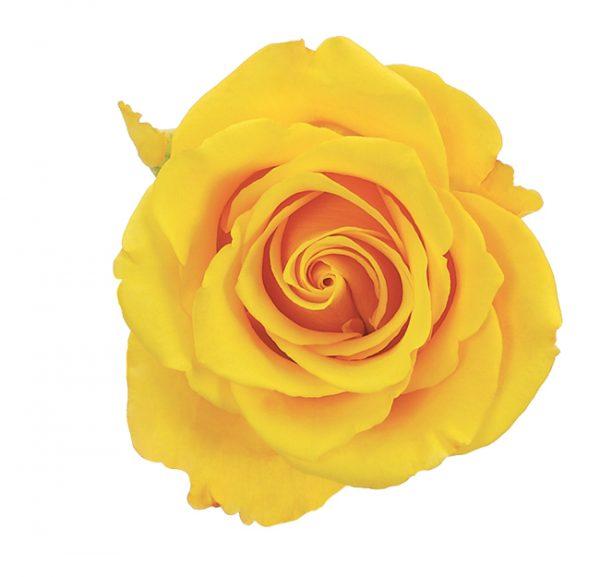 Rose Yellow Sonrisa