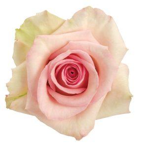 Rose Light Pink Sophie