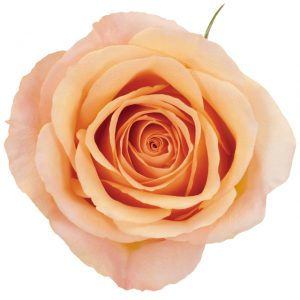 Rose Peach Sunmaster