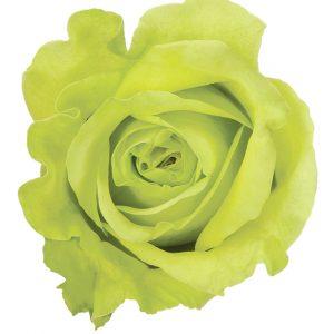 Rose Green Super Green