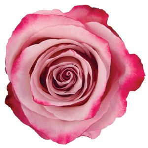 Rose Bi-Color Pink Sweetberry