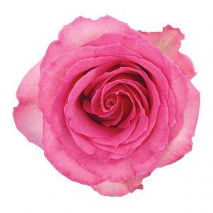 Rose Medium Pink Sweet Unique