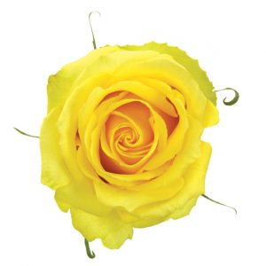 Rose Yellow Tara