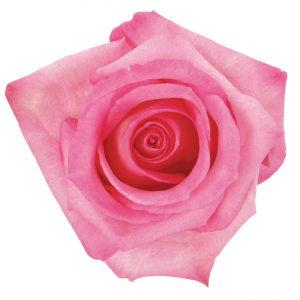 Rose Hot Pink Thrill