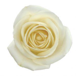 Rose Cream Tibet