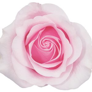 Rose Light Pink Titanic