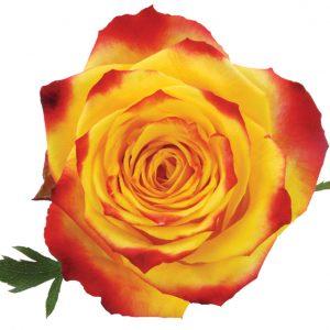 Rose Bi-Color Yellow Tutti Fruitti