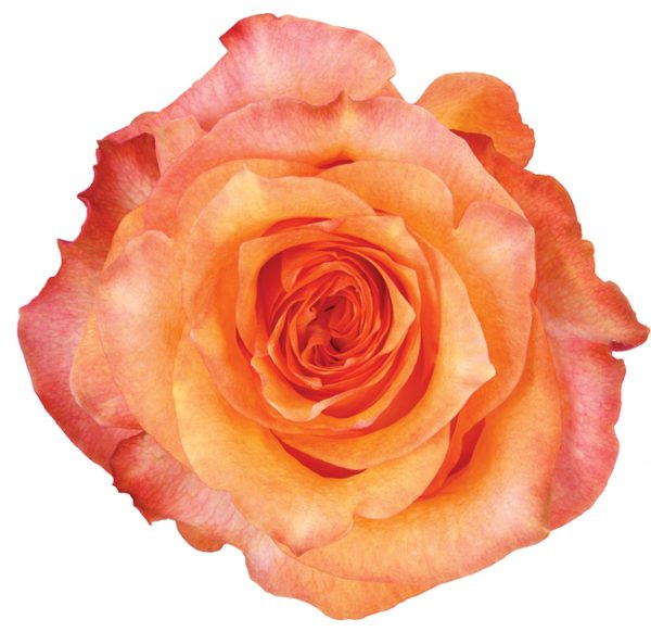 Rose Bi-Color Orange Twilight
