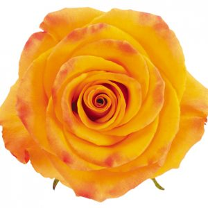 Rose Orange Tycoon