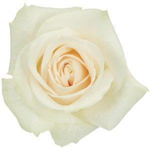 Rose Cream Vendela