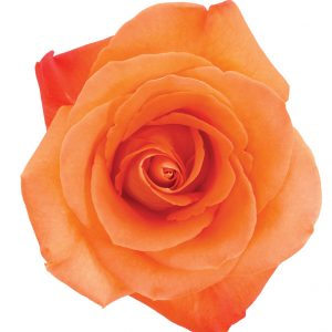 Rose Orange Voodoo