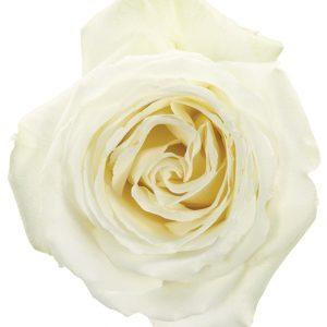 Rose White White Dove