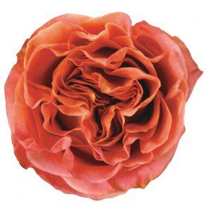 Rose Orange Wild Spirit