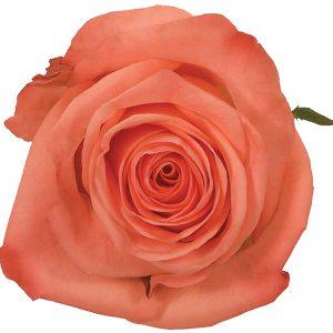 Rose Peach Wow