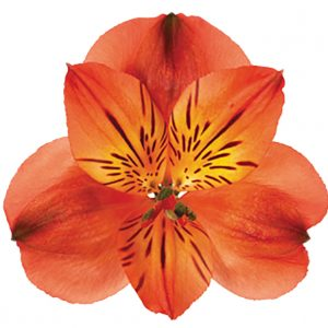 Alstroemeria Orange Angelina