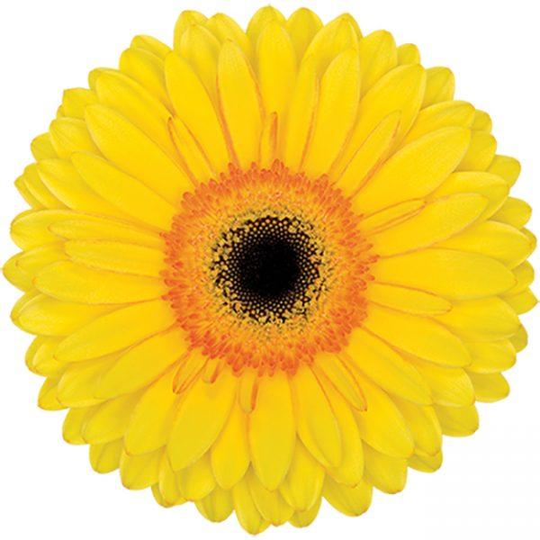 Gerbera Yellow Apollo (Dark Center)
