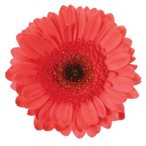 Gerbera Pink Aqua Melon (Dark Center)