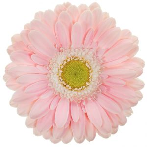 Gerbera Mini Pink-Light Babble (Light Center)
