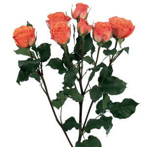 Roses Spray Orange Babe