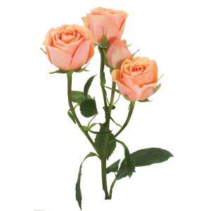 Roses Spray Peach Baby Rosever