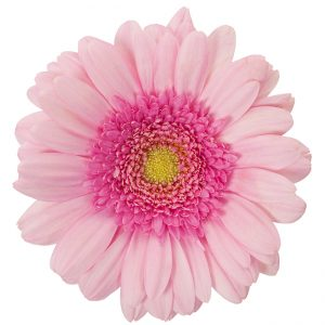Gerbera Mini Pink-Light Ballerina (Light Center)