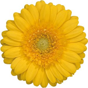 Gerbera Mini Yellow Banana (Light Center)