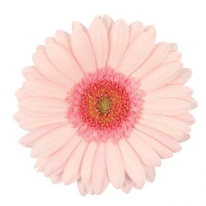 Gerbera Mini Pink-Light Bellita (Light Center)