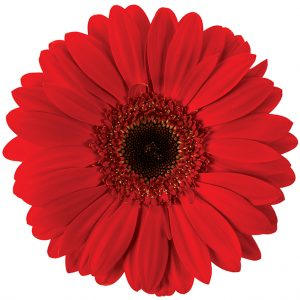 Gerbera Red Blind Date (Dark Center)