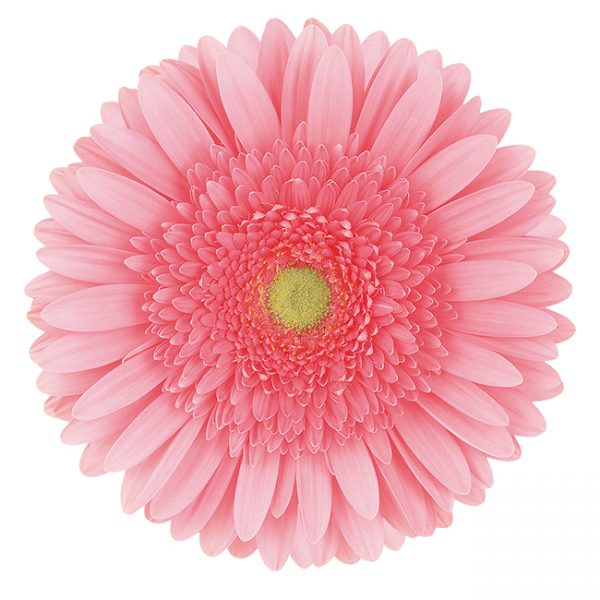 Gerbera Pink-Light Blossom (Light Center)