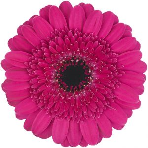Gerbera Mini Pink-Hot Boost (Dark Center)