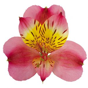 Alstroemeria Hot Pink Bordeaux