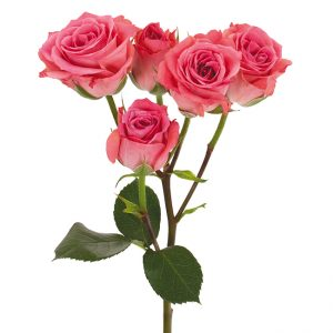 Roses Spray Pink-Dark Brilliant Stars Dark Pink