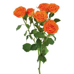 Roses Spray Orange Brilliant Stars Orange