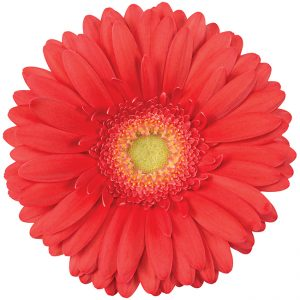 Gerbera Coral Broadway (Light Center)