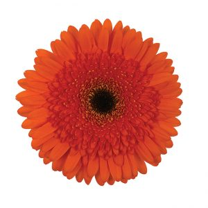 Gerbera Orange Candella (Dark Center)